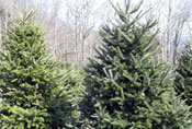 Sugar Plum Christmas Tree Farm