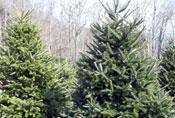 Sugar Plum Christmas Tree Farm